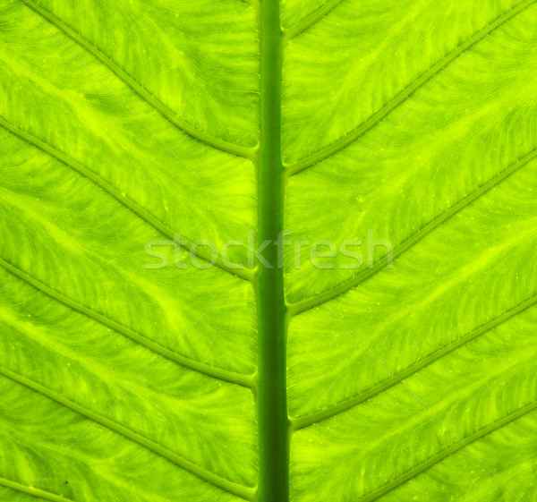 Tropical Leaf With Veins Stock photo © searagen
