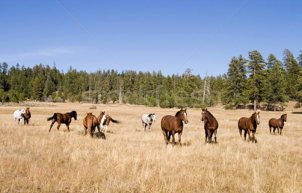 Cavalo rebanho cavalos grama prado Foto stock © searagen