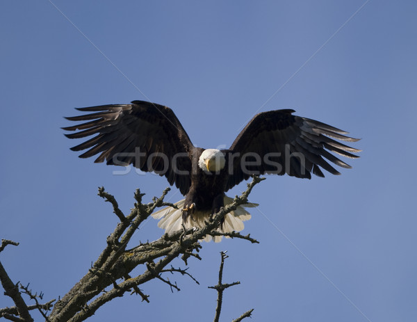 Chauve aigle atterrissage terres branche Photo stock © searagen