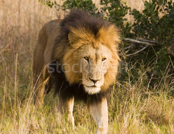 Stalking Wild Lion, On Safari Stock photo © searagen