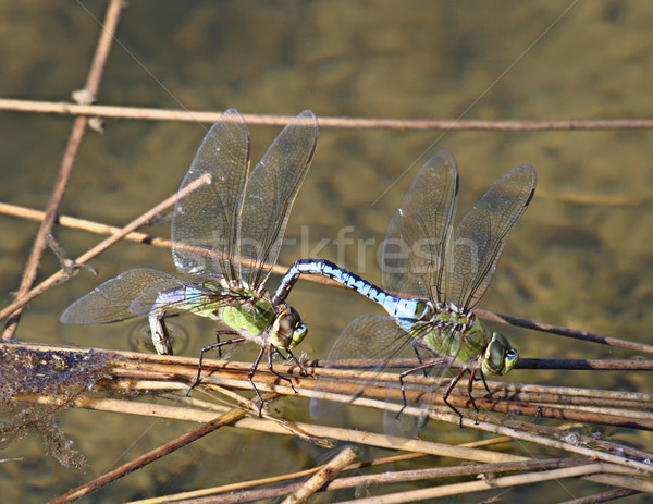 Two Dragonflies Stock photo © searagen