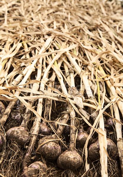 Organikus fokhagyma farm sziget ki előkészítés Stock fotó © searagen