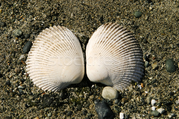 Two Clam Shells Stock photo © searagen