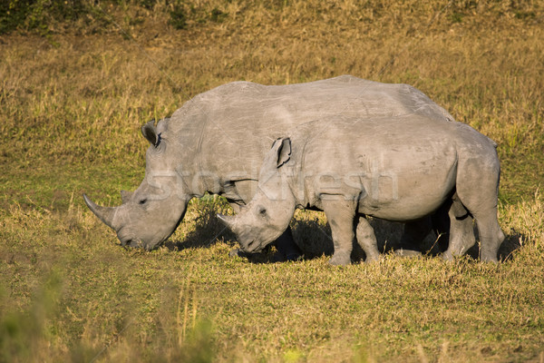 Mother and Baby White Rhino Stock photo © searagen