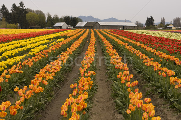 Tulip Field With Farm Stock photo © searagen