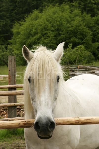 白 ポニー 立って 古い 雌馬 ストックフォト © searagen