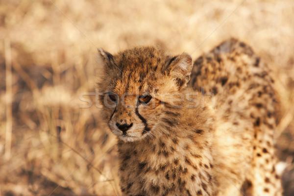 Guépard sauvage jeunes regarder Photo stock © searagen