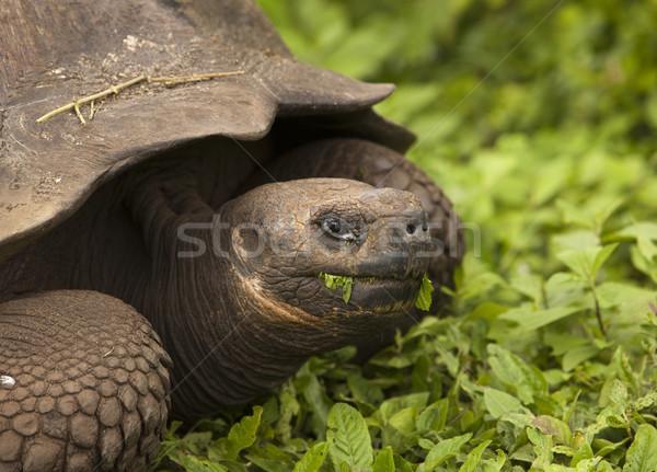 Giant Galapagos Tortoise Stock photo © searagen