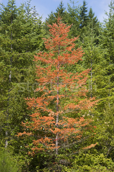 Stock photo: Diseased Tree In Forest