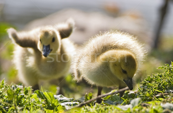 Two Baby Geese Stock photo © searagen
