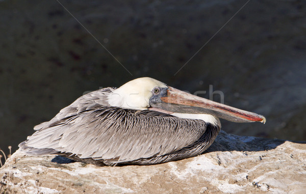 Pelican By The Sea Stock photo © searagen