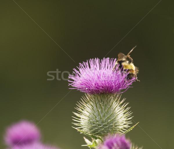 Háziméh virág nyár zöld citromsárga szárny Stock fotó © searagen