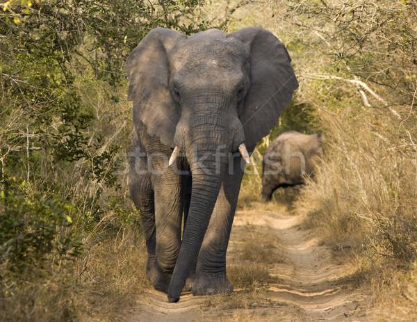 Elefánt sétál földút afrikai bika lefelé Stock fotó © searagen