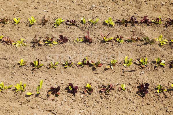 Bebek marul bitkiler büyüyen alan Stok fotoğraf © searagen