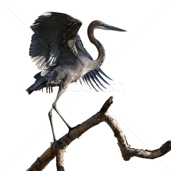 Goliath Heron On Branch Stock photo © searagen