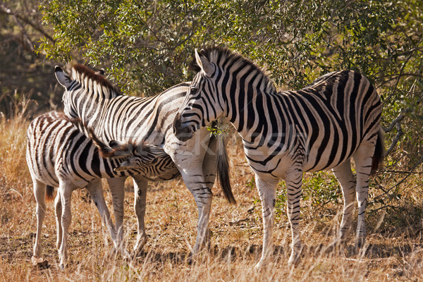 Baby Zebra Nursing Stock photo © searagen