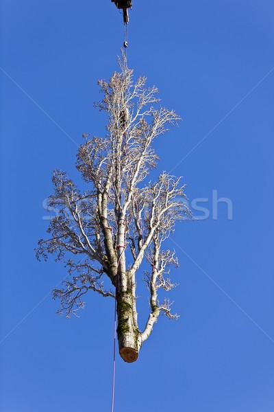 Populier boom verwijdering opknoping Stockfoto © searagen