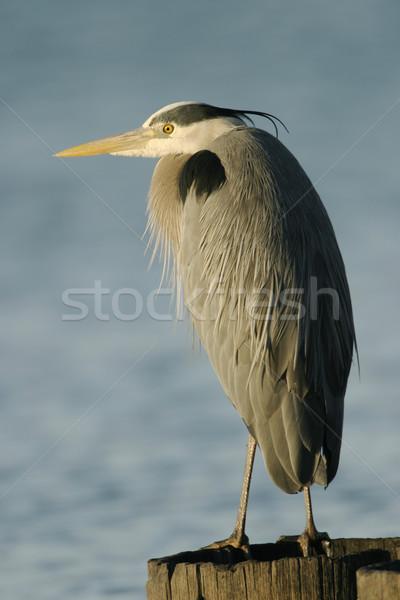 Great Blue Heron Stock photo © searagen