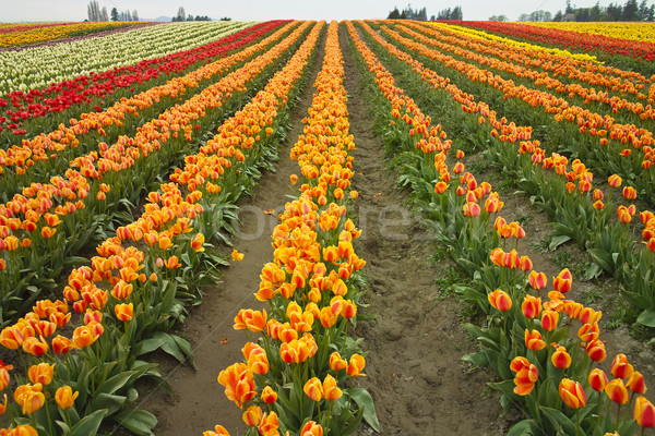 Colorful Tulip Farm Stock photo © searagen