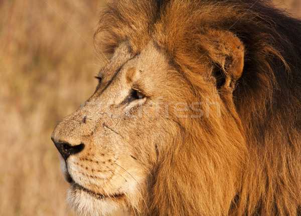 Male Lion With Scars Close-up Stock photo © searagen