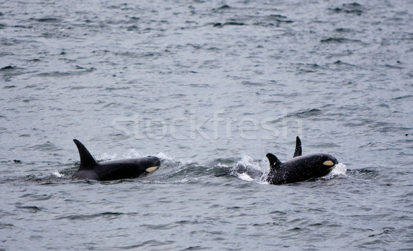 Baby Whale With Mother Stock photo © searagen