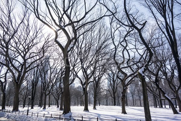 Trees In Central Park Stock photo © searagen