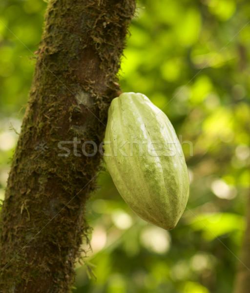 Chocolate vaina árbol cacao frijoles plantación Foto stock © searagen