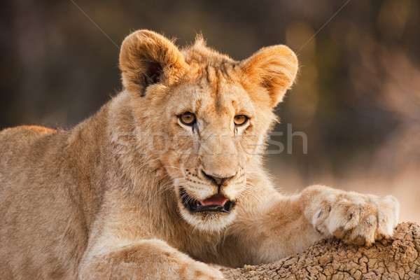 Male Lion Cub At Rest Stock photo © searagen