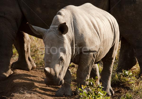 Wild Baby Rhinoceros In Sunlight Stock photo © searagen