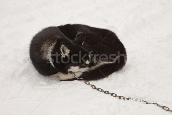 Sleeping Sled Dog With Chain Stock photo © searagen