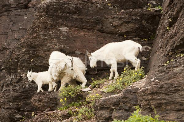 Family of Mountain Goats Stock photo © searagen