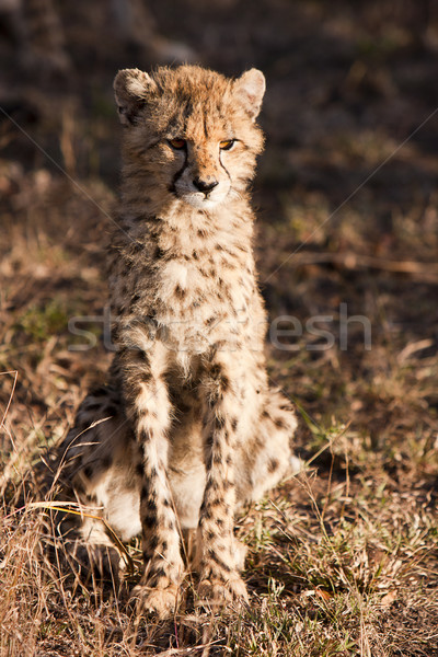 Wild Cheetah Cub Stock photo © searagen