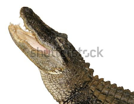 Florida Gator Isolated Stock photo © searagen