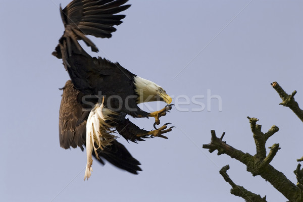 Bald Eagle With Talons Stock photo © searagen