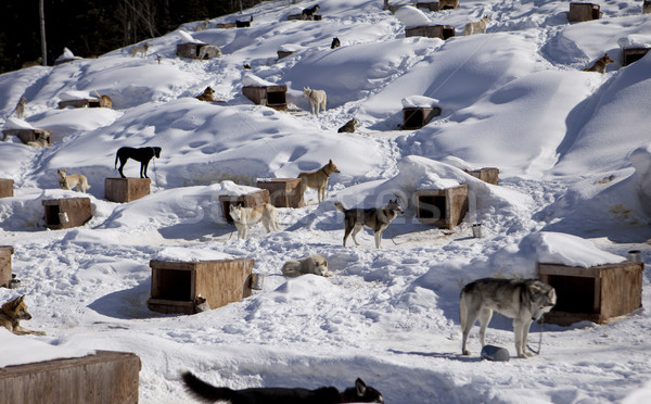 Sled Dog Kennel Stock photo © searagen