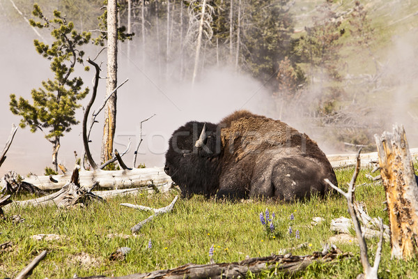 Buffalo Near Hot Spring Stock photo © searagen