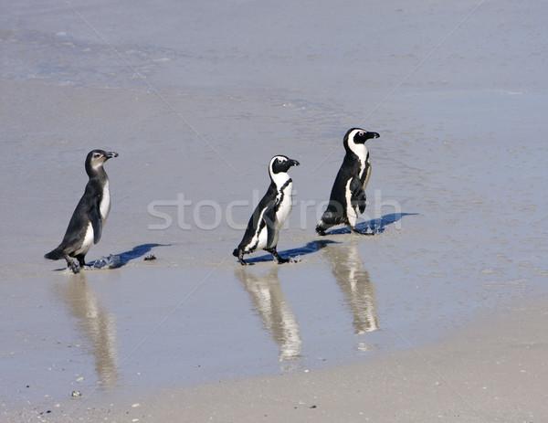 Three Penguins On The Beach Stock photo © searagen