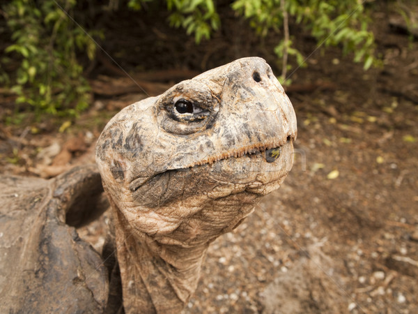 Galapagos Tortoise on Isabel Island Stock photo © searagen