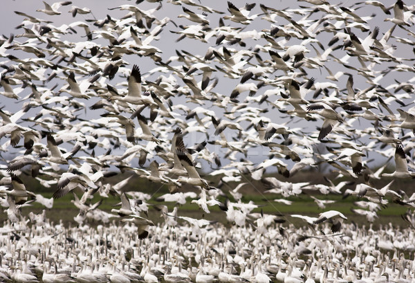 Snow Geese Migration Stock photo © searagen