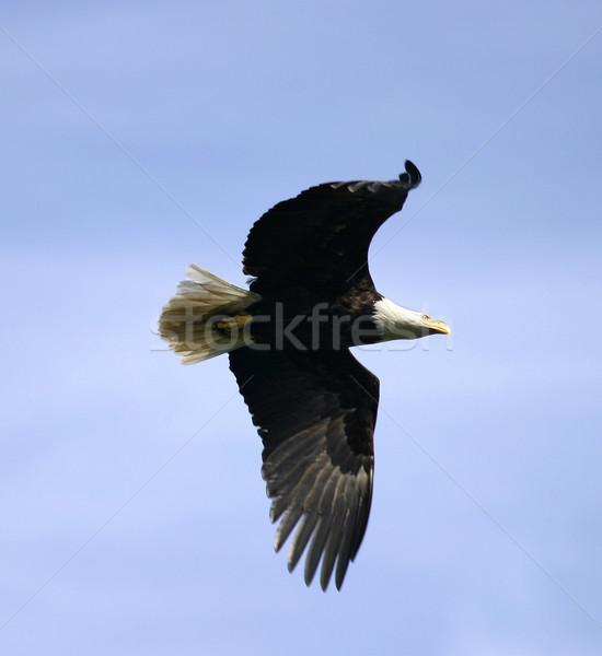 Bald Eagle In Flight, II Stock photo © searagen