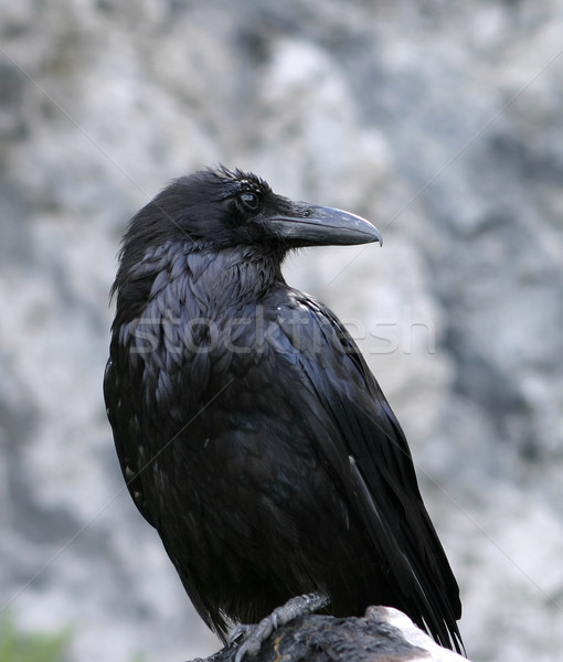 Raven Close-Up Stock photo © searagen