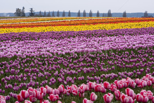 Tulip Farm Stock photo © searagen