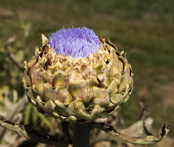 Artichoke Flower Stock photo © searagen
