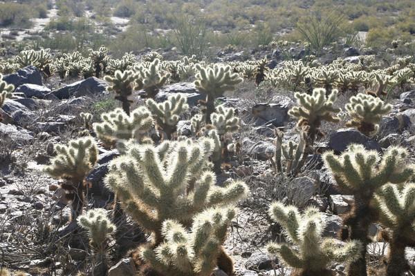 Cholla Cactus In Desert Stock photo © searagen