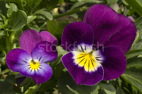 Pansy flowers Stock photo © SelenaMay
