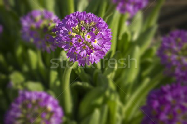 紫色の花 マクロ 花 庭園 背景 夏 ストックフォト © SelenaMay