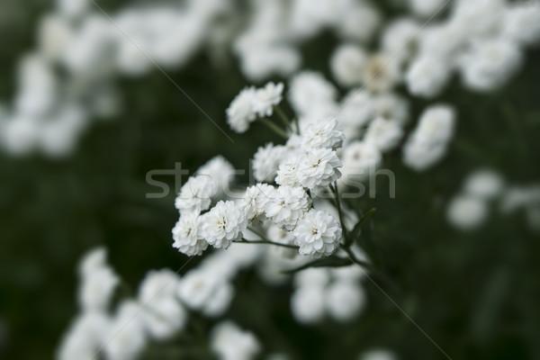 Blanche fleurs macro coup fleur nature Photo stock © SelenaMay