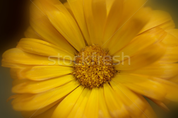 Orange calendula flower Stock photo © SelenaMay