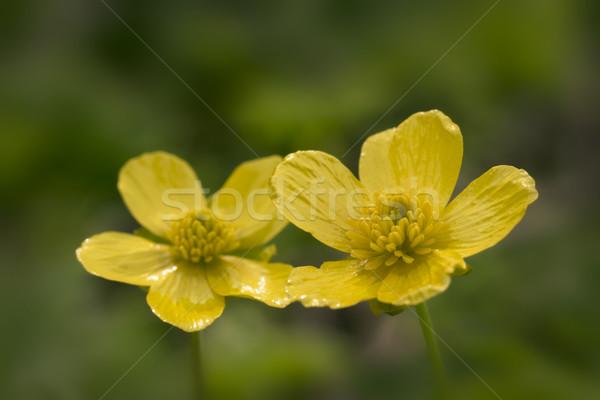 黄色 小 花 マクロ 花 庭園 ストックフォト © SelenaMay