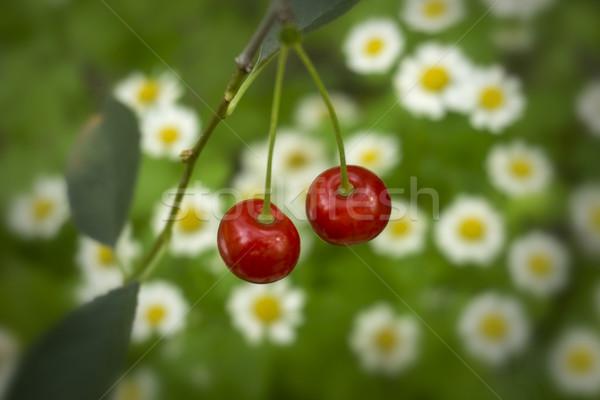 チェリー フィールド ヒナギク 花 ツリー 食品 ストックフォト © SelenaMay